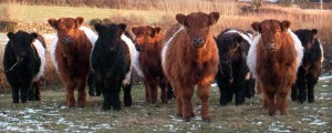 black-red-belted-galloway-cattle