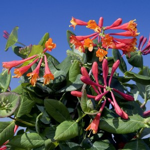 Chèvrefeuille lonicera rouge
