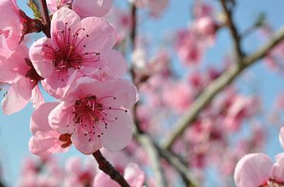 Fleurs De Pecher Et Estampes Ecriplume