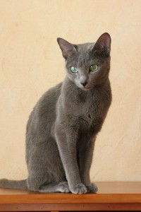 chat-gris-russe