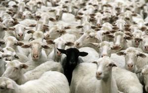 mouton-blanc-noir