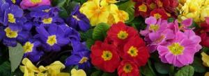 variétes de primevères des jardins colorées