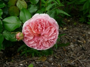 Rose Georges Sand
