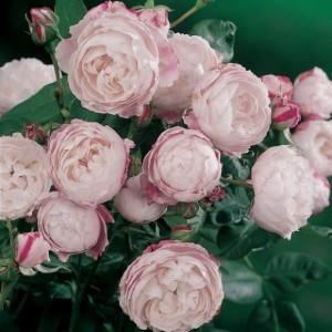 rosier-mme-pierre-oger