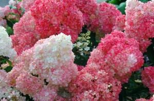 hydrange-vanille-fraise-plante-arbuste-fleur-blanc-rose_660x0